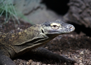 Komodo dragon blood leads to new wound healing discovery
